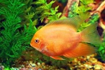 پرورش ماهیان زینتی ؛ شغلی پردرآمد با ارزش صادراتی بالا